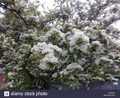 blossoming small white flowers stock photos blossoming small