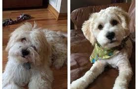 toilettage de l affenpinscher 15 photos de chiens avant après leur toilettage