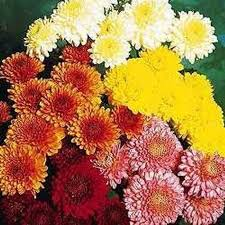 wholesale cushion daisy novelty mums fall colors mix blooms by
