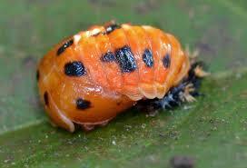 ladybug life cycle u2013 benweb 3 2