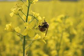 native plants alberta the latest buzz on alberta u0027s wild bees abmi blog