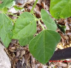climbing poison ivy vine in the garden eastern sea star