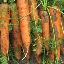 100 seeds new kuroda five inch carrot seed selling small family