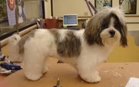shih pooh haircut best dog clippers for shih tzu hair
