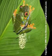 frog forum eyed leaf frog eyed tree frog care