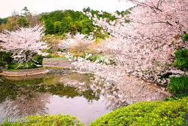 the meaning of cherry blossoms in and renewal