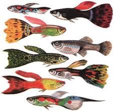 80-100 Litre Akvaryumda Bakılabilecek Balıklar