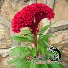2017 wholesale quality herbal flower seeds amaranth seeds easy to