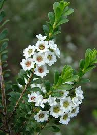 Tree With Little White Flowers - 621 best bushes and shrubs images on pinterest flowering shrubs