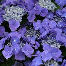 hydrangea plants u0026 flowers hydrangea hortensia
