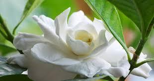 Gardenia Flower Health Benefits Of Gardenia Tea Livestrong Com