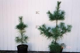 white pine tree windbreaktrees