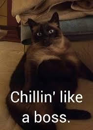 Sassy Cat Meme - siamese cat ming memes