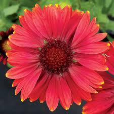 arizona flowers arizona shades blanket flower seeds