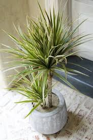 the madagascar dragon tree or dracaena marginata or is one of