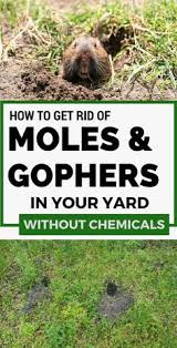 How To Get Rid Of A Skunk In Your Backyard 7 Effective Ways To Getting Rid Of Moles In The Garden And Yard