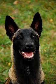 belgian shepherd special forces résultat de recherche d u0027images pour