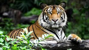 seek the tiger find the jungle magazine roundglass
