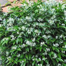 Fragrant Climbing Plants - the 25 best trachelospermum jasminoides ideas on pinterest
