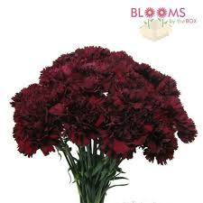 carnations in bulk spectacular burgundy carnation flowers nobby carnations wholesale