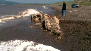 mysterious sea monster with u0027fur and beak u0027 washed ashore on a