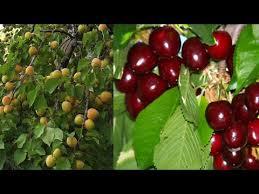 Cherry Tree Fruit - cherry u0026 apricot tree fruit harvest youtube