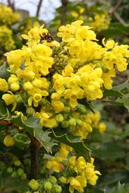 oregon native plant nursery best 25 mahonia aquifolium ideas on pinterest petit jardin à l