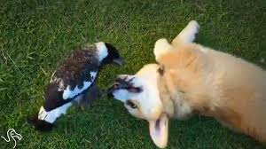 Corgi Puppy Meme - corgi puppy is completely obsessed with his bird friend youtube