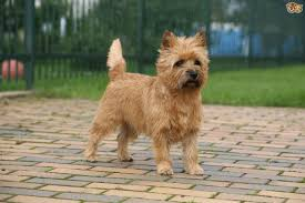 brindle cairn haircut cairn terrier hereditary health and wellness pets4homes