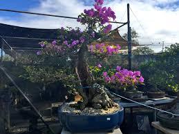 where can i find bonsai for sale in brisbane greensocks