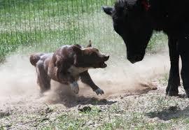 australian shepherd and border collie farm collie farm shepherd dog photo registered australian