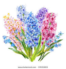 hyacinth flower hyacinth stock images royalty free images vectors