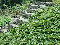 sloped backyard with pachysandra plants the evergreen