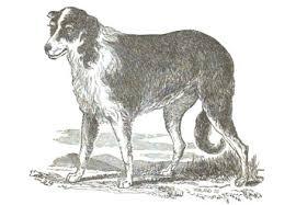 australian shepherd origin aussieshep