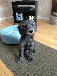 beagle x australian shepherd this beagle schnauzer mix is the closest to wilfred u0027s look that i