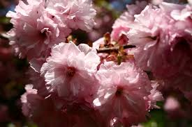 pink tree blossom flowering trees free nature pictures