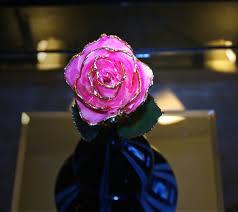 Golden Roses Golden Rose Free Stock Photos In Jpeg Jpg 1280x1138 Format For