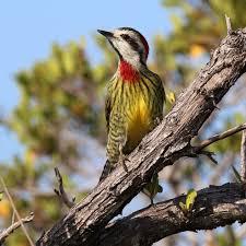 list of birds of cuba wikipedia