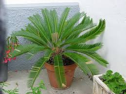 information about sago palm plant care