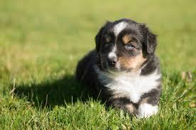 australian shepherd eyebrows early march 2016 new miniature australian puppies u2014 breezemore