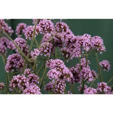 verbena flower proven winners meteor shower verbena live plant light purple
