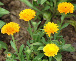 Yellow Orange Flowers - pictures of orange flower varieties