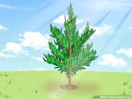 how to plant cedar trees with pictures wikihow