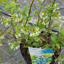 beautiful plants exterior journal pruning young blueberry plants with plants pots