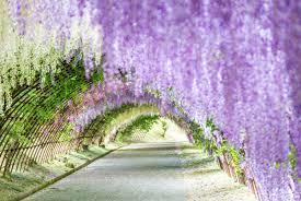 japan flower tunnel wisteria flower tunnel in japan s kawachi fuji garden photos and