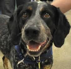bluetick coonhound lab mix puppies for sale yellow lab basset hound mix