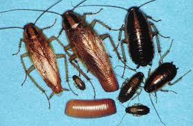 Baby Roaches In Bathroom German Roaches German Cockroach German Roach Control German