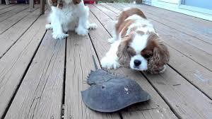 dogs vs horseshoe crab at cape cod ma youtube
