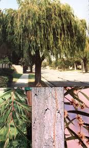 tree agonis flexuosa