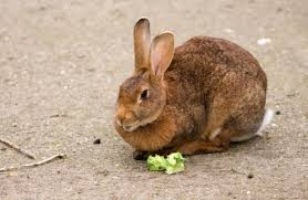 111 foods rabbits can eat and can u0027t eat 2018 edition u2013 rabbit expert